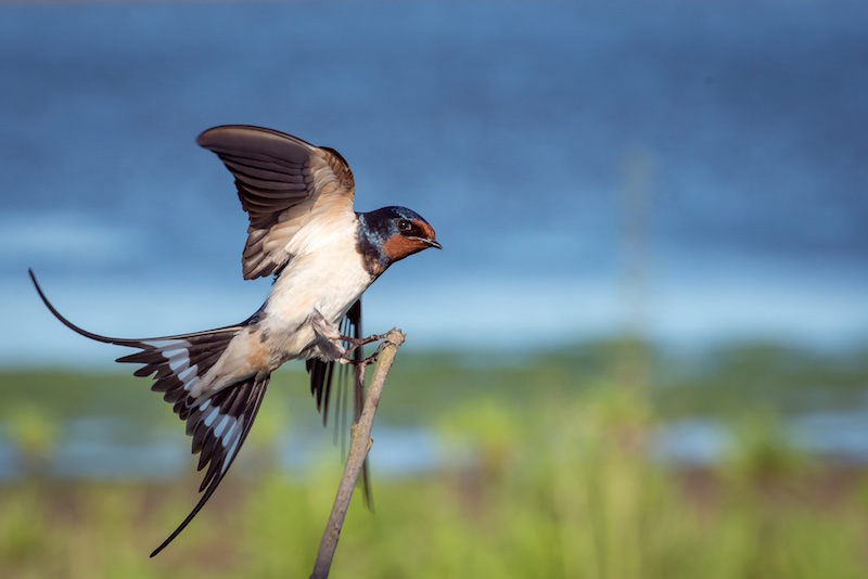 A swallow alighting on a branch in a marsh.